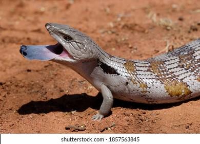 Eastern Blue-tongue Lizard flickering it's tongue