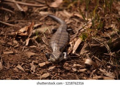 An Eastern Blue-Tongued Lizard