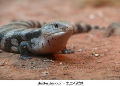 Eastern blue-tongued skink lying on the floor (Tiliqua scincoides)