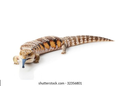 Eastern Blue-tongued Skink (Tiliqua scincoides scincoides) isolated on white background.