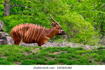 Eastern bongo (Tragelaphus eurycerus isaaci), also known as the mountain bongo in natural background