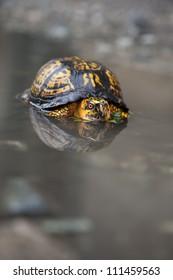 The eastern box turtle (Terrapene carolina),  is a genus of turtle native to the eastern united states.