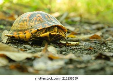 Eastern Box Turtle (Terrapene Carolina Carolina) Hiding in its Shell.