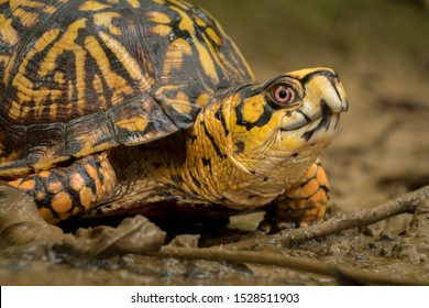 An eastern box turtle, a vulnerable species, makes his way through the mud at Barfield Crescent Park in Murfreesboro, Tennessee.