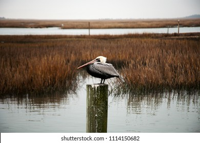 Eastern Brown Pelican rests on a pier post among the reeds on Pawleys Island, South Carolina. The quiet bay reflects an overcast sky in it's calm water.