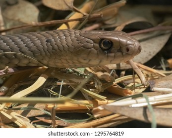 an eastern brown snake with its head raised and tongue flicking-this snake causes the most australian fatalities