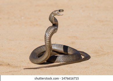 Eastern Brown Snake in striking pose