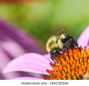 The Eastern Bumblebee (Bombus impatiens) is one of the most important native pollinators in eastern N. America.  They pollinate a variety of plants and forage from early spring to late fall. Closeup.