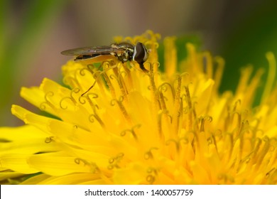 Eastern Calligrapher collecting nectar from a yellow Dandelion. Taylor Creek Park, Toronto, Ontario, Canada.