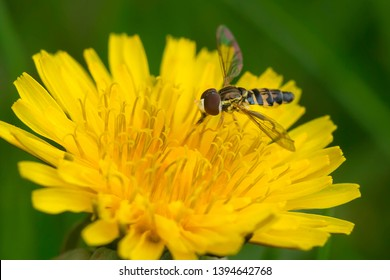 An Eastern Calligrapher Hoverfly is collecting nectar from an early spring Dandelion. Mississauga, Ontario, Canada.