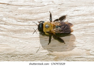 An Eastern Carpenter Bee is resting on a sun-bleached wooden fence rail. Taylor Creek Park, Toronto, Ontario, Canada.