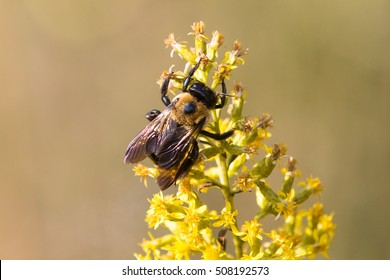 Eastern Carpenter Bee (Xylocopa virginica) collecting pollen from goldenrod