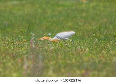 Eastern Cattle Egret; Bubulcus coromandus on green meadow.