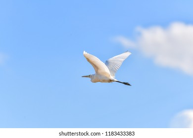 Eastern Cattle Egret flying in blue sky