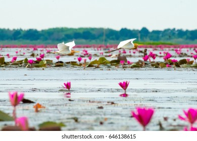 Eastern Cattle Egret in wetlands Thale Noi, one of the country's largest wetlands covering Phatthalung, Nakhon Si Thammarat and Songkhla ,South of THAILAND.