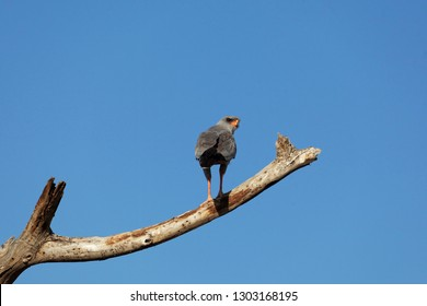 An eastern chanting goshawk or Somali chanting goshawk (Melierax poliopterus) on a branch in East Africa.