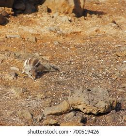 Eastern chipmunk crawling on the ground