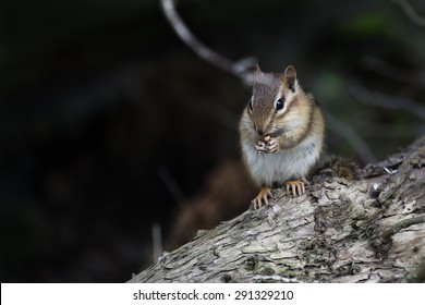 Eastern Chipmunk enjoying a Western New York State early Summer evening.