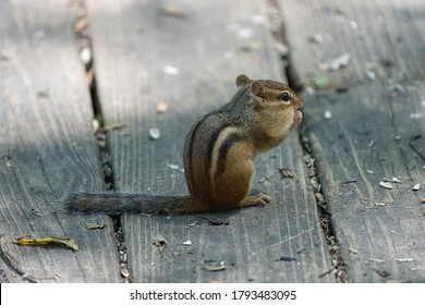 eastern chipmunk looking for food on a sunny day in the woods
