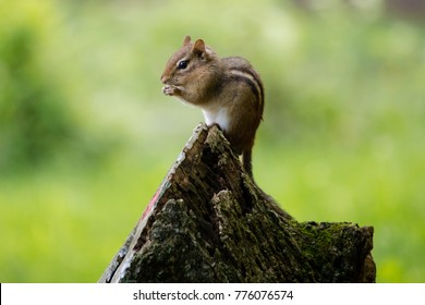An Eastern Chipmunk perched on a stump