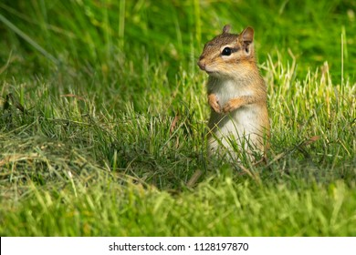 Eastern Chipmunk standing up in the grass looking out for danger. High Park, Toronto, Ontario, Canada.