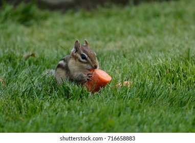 An Eastern Chipmunk (Tamias striatus) eating a piece of a carrot, sitting on a lawn in Nineveh, New York.