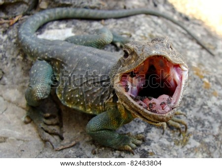 Eastern Collared Lizard, Crotaphytus collaris