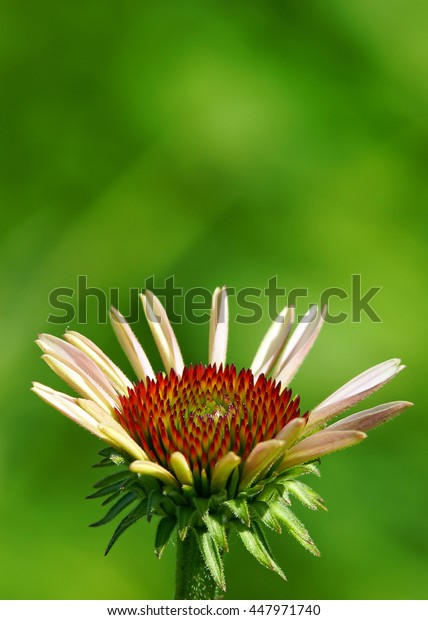 Eastern Coneflower opening with center detail.