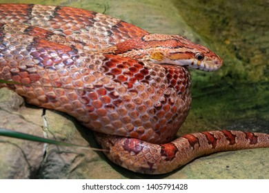 Eastern Corn Snake (Pantherophis guttatus), close up