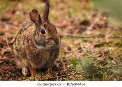 An eastern cottontail rabbit in the brush.