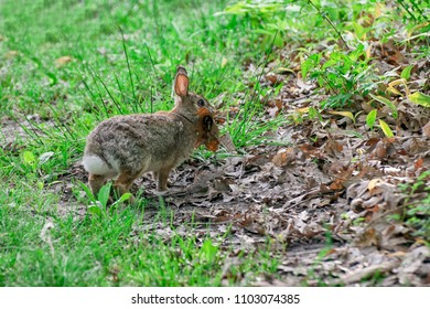 Eastern cottontail rabbit gathering leaves for his nest. Walking in the grass on a wet dewy morning.