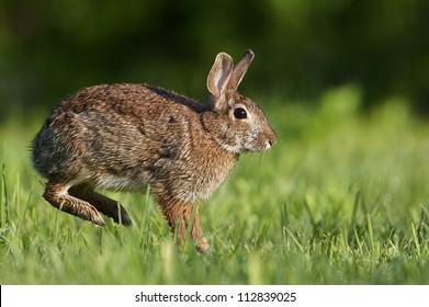 Eastern Cottontail Rabbit leaping jumping hopping in lush green grass lawn, suburban Philadelphia, Pennsylvania
