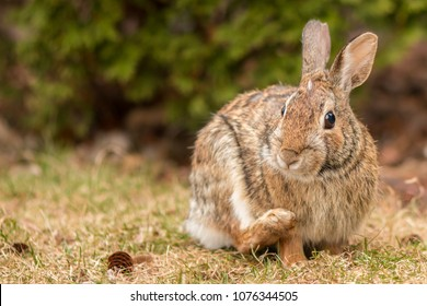An eastern cottontail rabbit scratching.