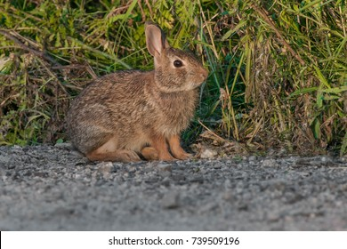 Eastern Cottontail Rabbit at the side of the road in the early morning light. Tommy Thompson Park, Toronto, Ontario, Canada.
