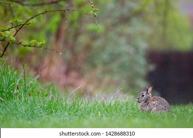 An Eastern Cottontail Rabbit sits in a green grassy field in the light rain.
