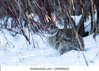 eastern cottontail rabbit sitting in the snow
