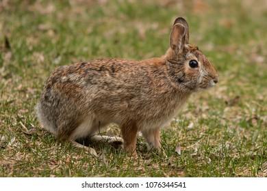 An eastern cottontail rabbit standing in short grass.