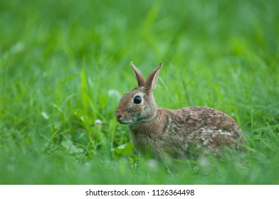 Eastern cottontail rabbit (Sylvilagus floridanus) sitting in field of green grass