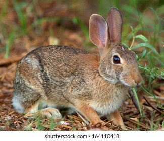 Eastern Cottontail Rabbit (Sylvilagus floridanus) getting it's evening meals started in Bexar County in southern Texas.