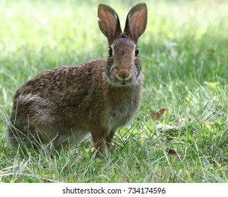 Eastern Cottontail rabbits are a common sight in New England but the startled expression on this one as I snuck up on it was adorable