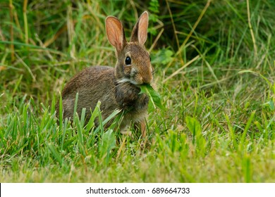 Eastern Cottontail standing in the grass eating a leaf. Todmorden Mills, Toronto, Ontario, Canada.