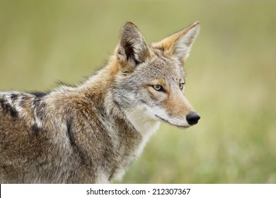 An eastern coyote head shot.
