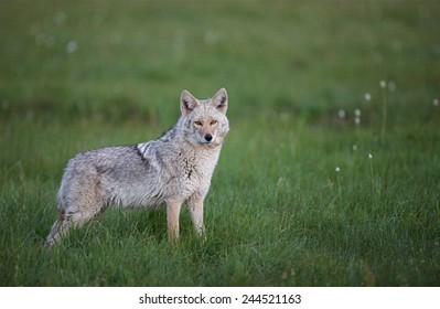 Eastern Coyote, often called Coy-wolf large heavy bodied coyote in lush grassy meadow habitat