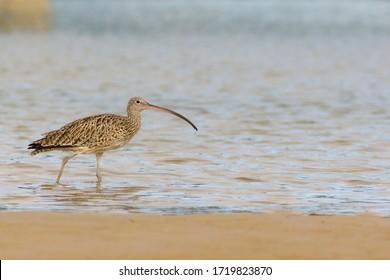 Eastern curlew (Numenius madagascariensis) wading in creek. Hastings Point, NSW, Australia