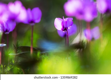 Eastern Cyclamen, Cyclamen coum, alpen viooltje