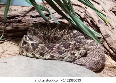 Eastern Diamondback Rattlesnake Images, Stock Photos