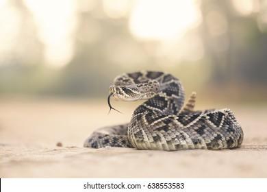 Eastern Diamondback Rattlesnake (Crotalus adamanteus) in Florida