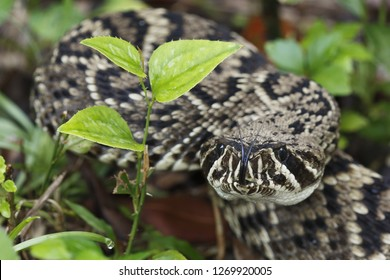 Eastern Diamondback Rattlesnake in Everglades National Park, Flo