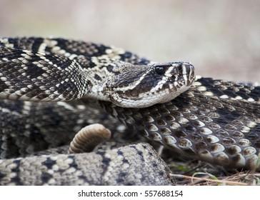 Eastern Diamondback Rattlesnake Up-Close