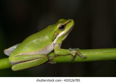 Eastern dwarf tree frog (Litoria fallax) holding onto a branch.